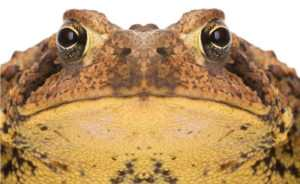 Ugly Bufo Toad