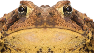 Photo of The Tale of the Ugly Bufo Toad is More of a Nightmare for Pet Owners